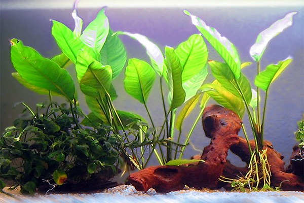 Best Plants for Betta Tanks 6