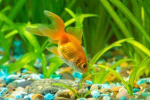 How do I Choose the Best Goldfish Food