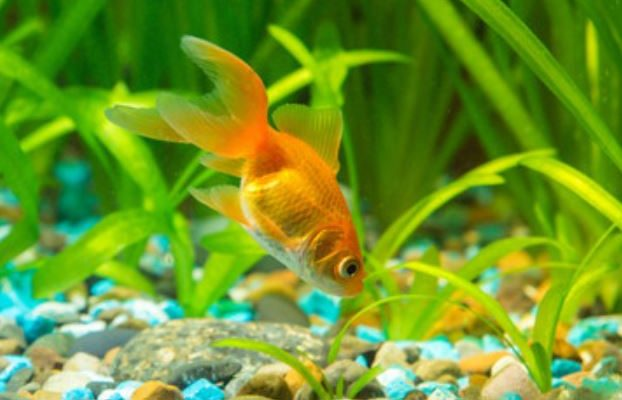 How do I Choose the Best Goldfish Food