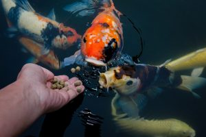 How do I choose the Best Koi Food
